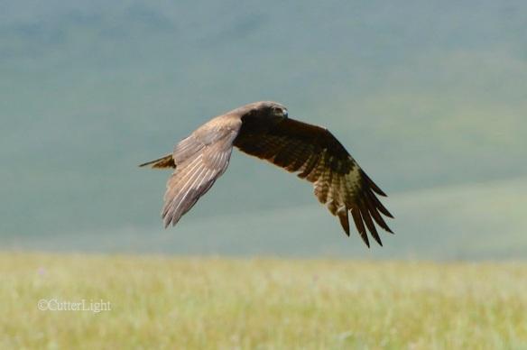 black kite n