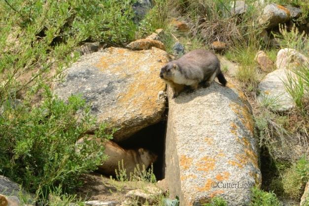 marmots n