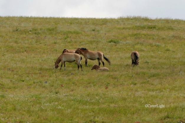 Prezwalski's horses b n