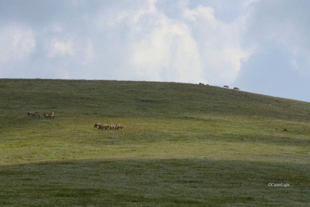 Przewalski's horses a n