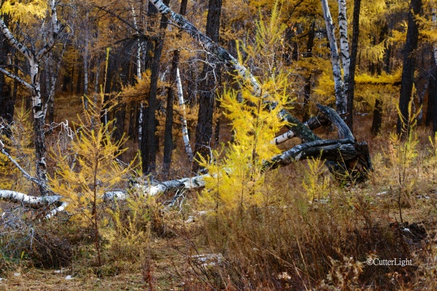 bodkhan fall larches birches n