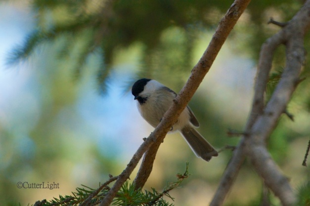 great tit n