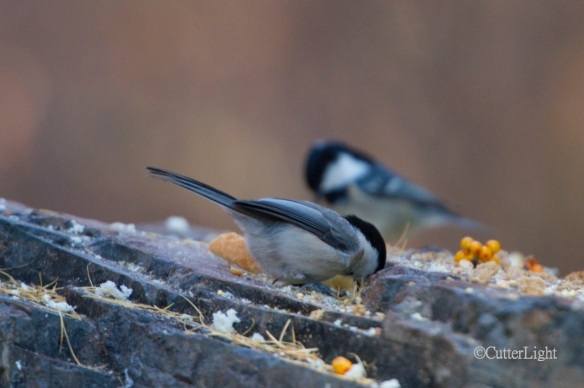 great tits Parus major n