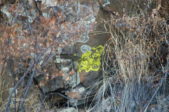lichen chartreuse n