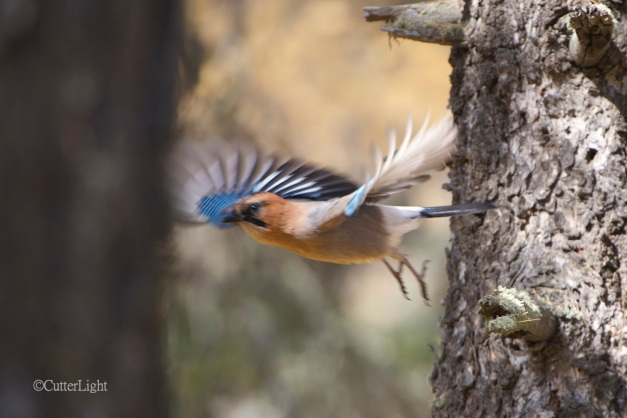 siberian jay in flight n