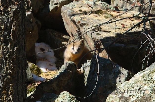 vulpus vulpus young red fox n