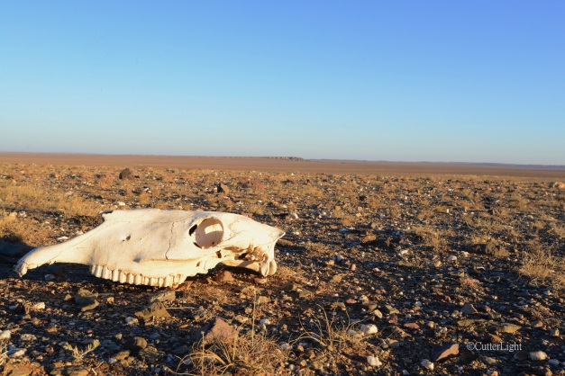 camel skull & white cliffs n