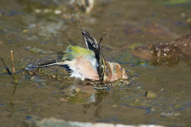 chaffinch bathing n