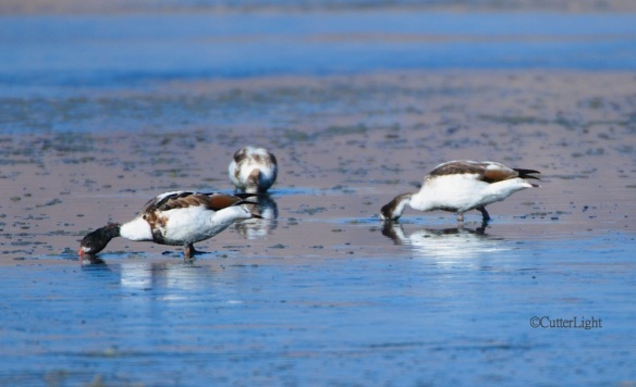 common shelducks salty lake n