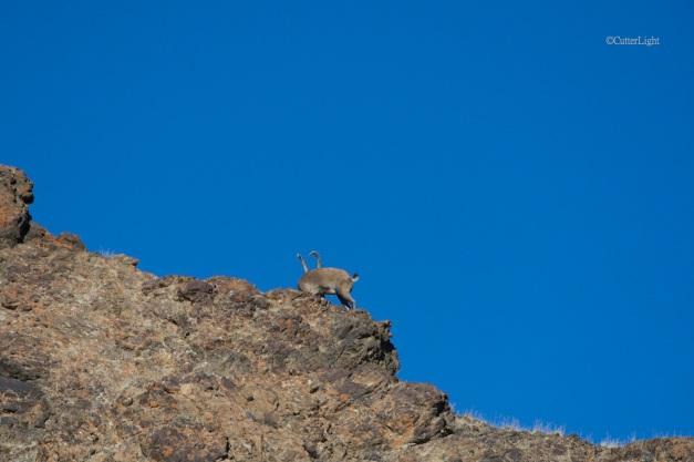 ibex bull disappearing n