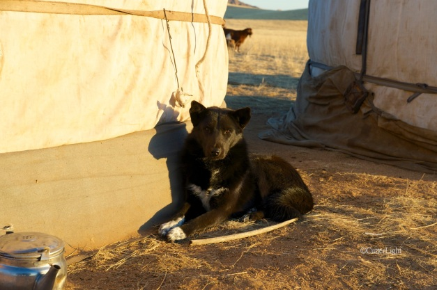 mongolian dog n