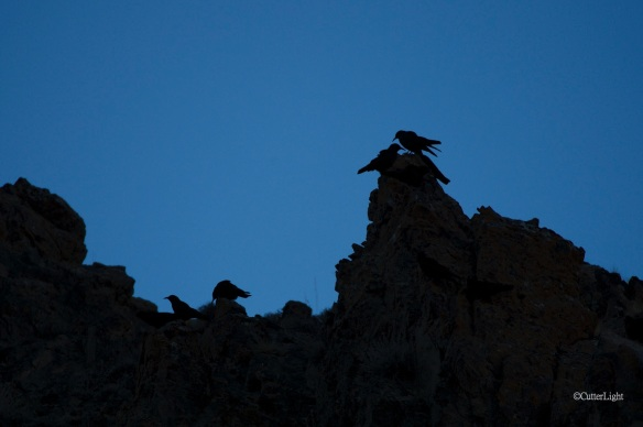 red-billed choughs sunset n