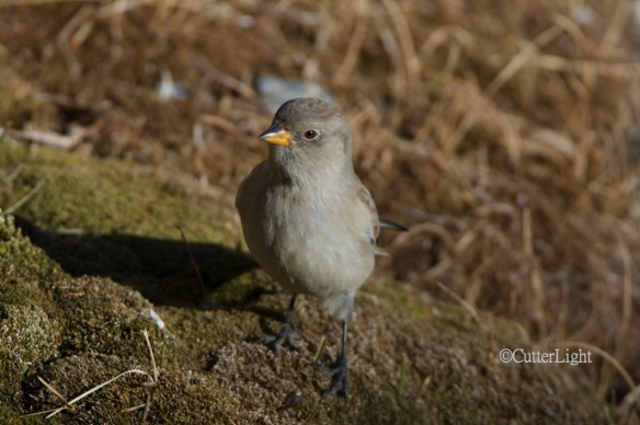 white-winged snow finch im n