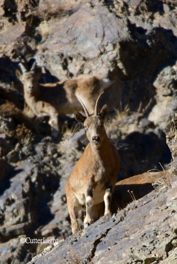 young ibex looking at me n