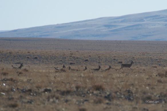 black-tailed gazelle against dunes n