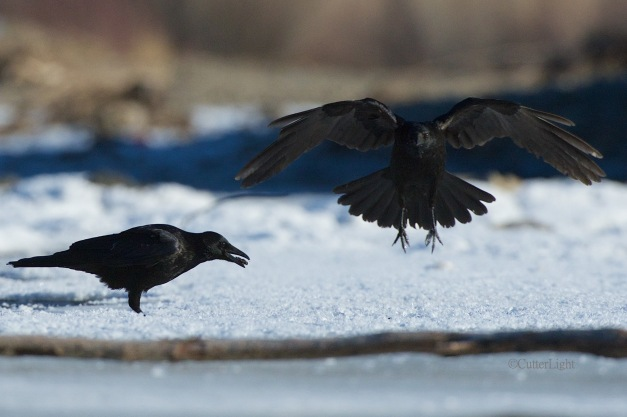 carrion crows wings n cadis n