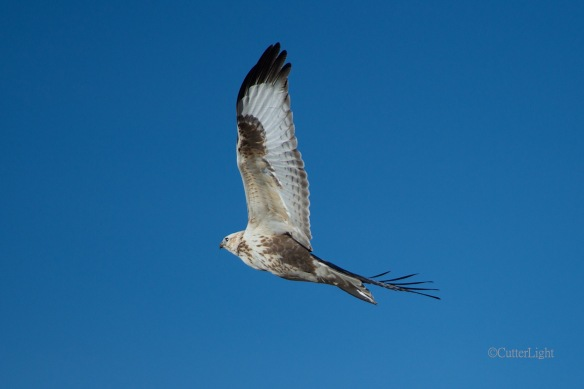 common buzzard n