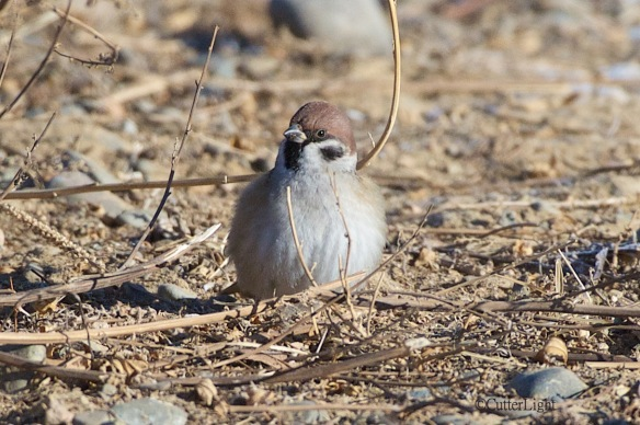 eurasian tree sparrow front n
