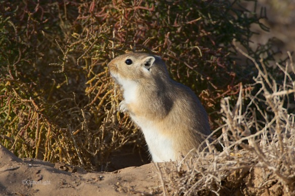 gerbil in s gobi