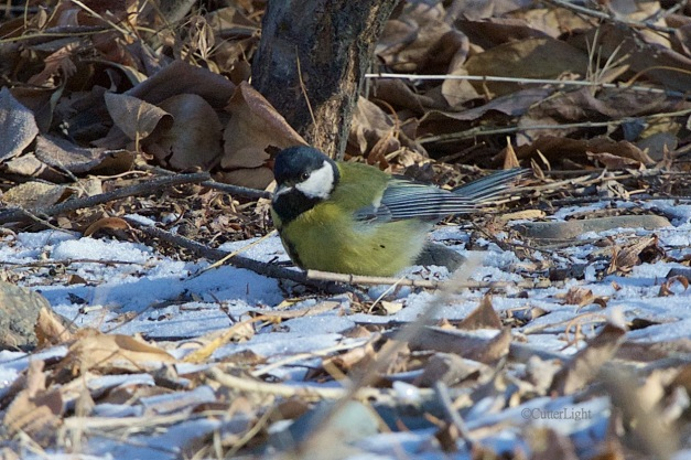 great tit ground n