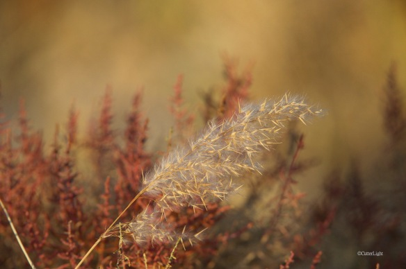 red grass on wheat n