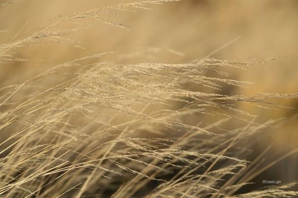 wheat grass wild n