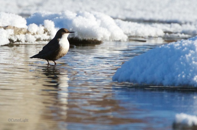 white throated dipper Tuul n