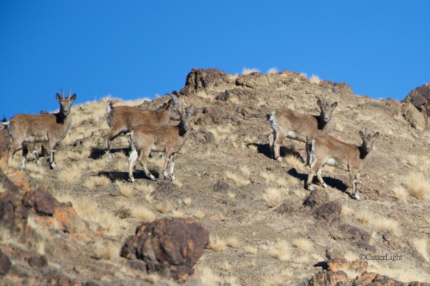 young & female ibex yolyn am 2 n