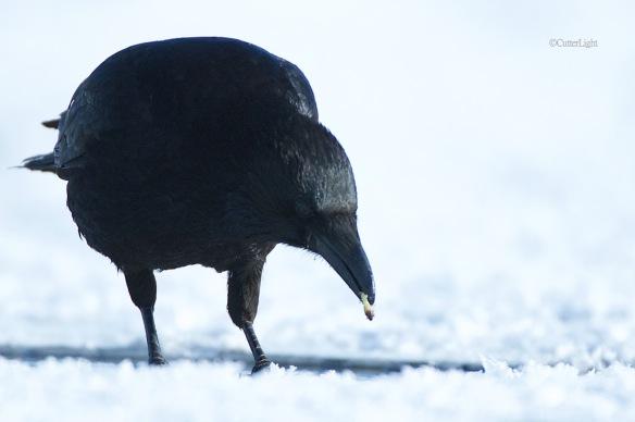 carion crow w caddis n