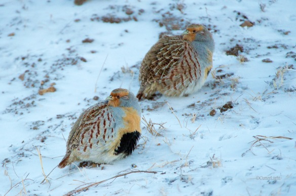 Daurina partridge pair n
