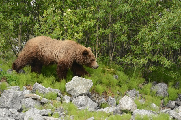 Grizzly ambling off diorama n