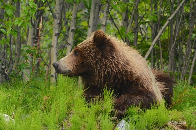 Grizzly looking to his right n