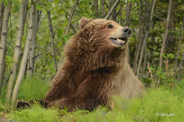 Grizzly picking up scent n