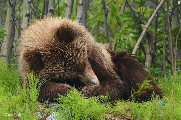 grizzly sleeping  a n