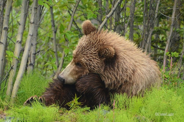 Grizzly the Thinker n