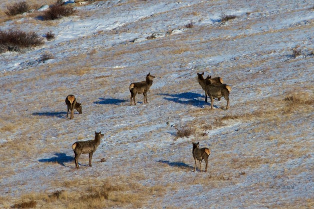 red deer femals on snow n