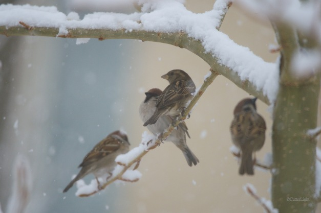 house sparrows snowy day n