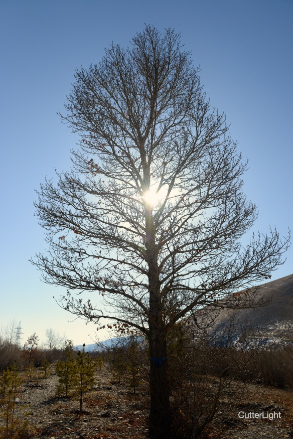 big tree w sun april Tuul n