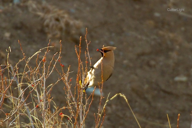 bohemian waxwing eating red berries n
