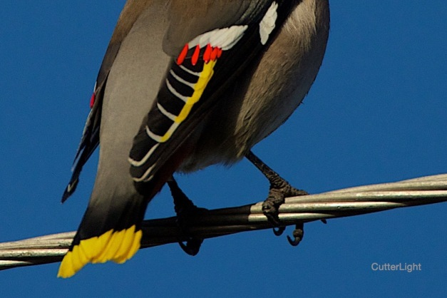 Bohemian Waxwing feathers close n