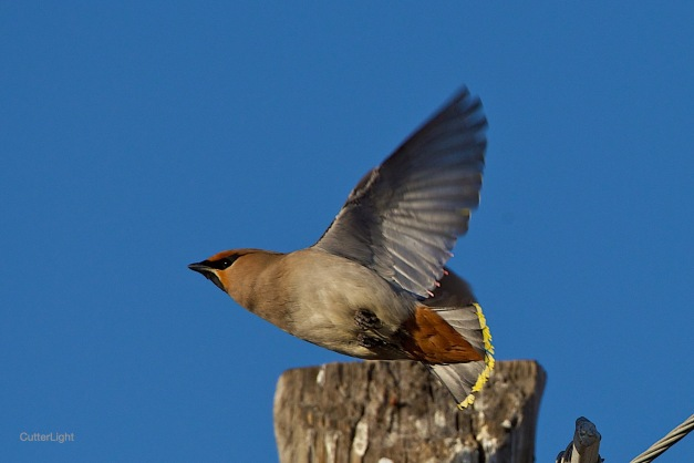 bohemian waxwing flight n