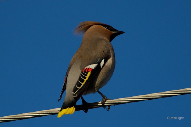 Bohemian waxwing on wire n