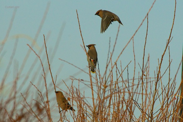 bohemian waxwings in habitat n