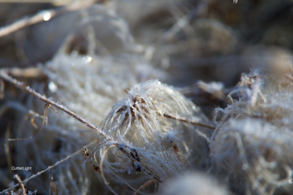 frost jellyfish weed april 2015 n