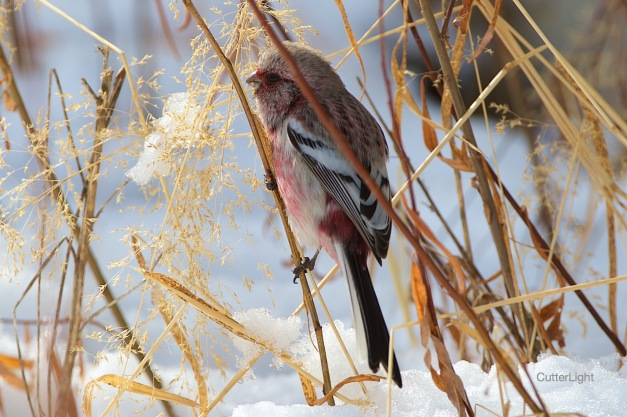 long-tailed rosefinch n