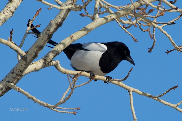 Magpie March 2015 n