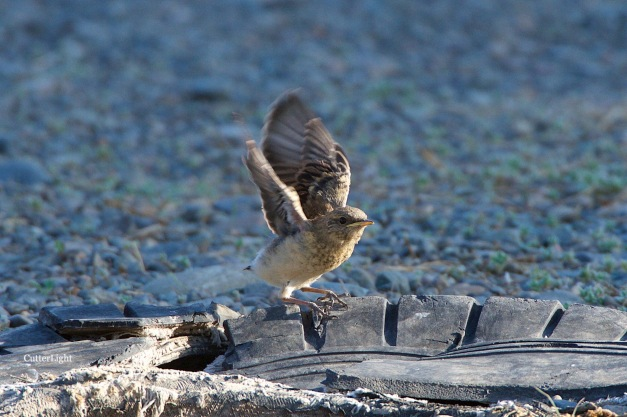 Isabelline wheatear chick stretching wings n
