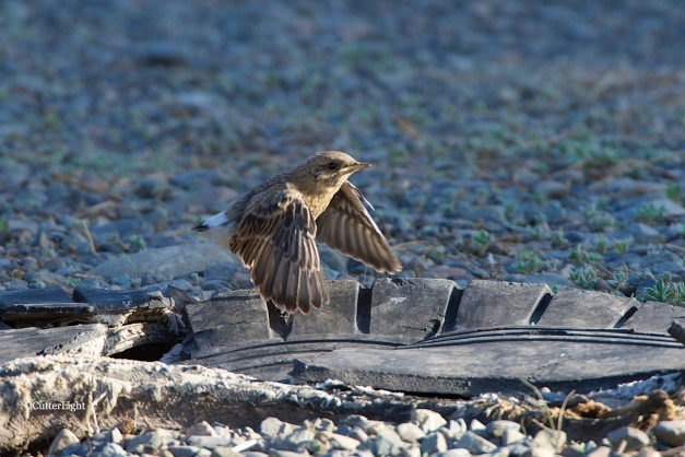 Isabelline wheatear juv 1st flight n