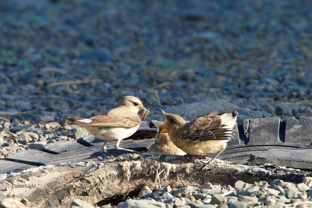 Isabelline wheatear mom feed 2 juv grub 1 n