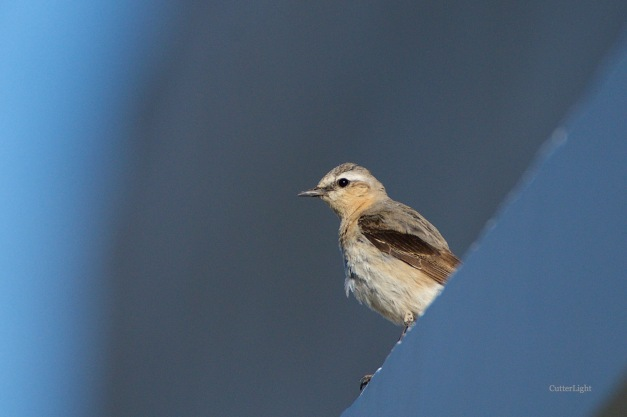 Isabelline wheateater juv on ledge n